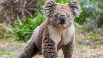 AFA KOALA CRISIS NOVEMBER 2018 NEWSLETTER