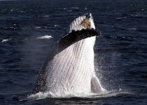 humpback-300x214