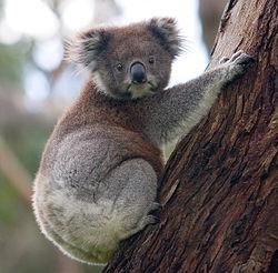 Koala climbing a tree