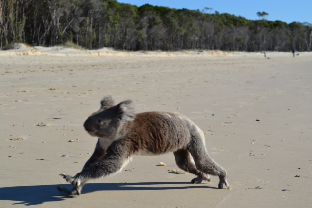 playful koala on beach