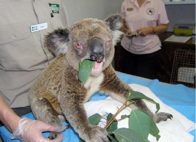koala with chlamidia