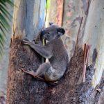 starving koala