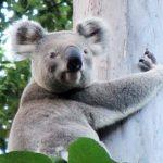 koala crisis
