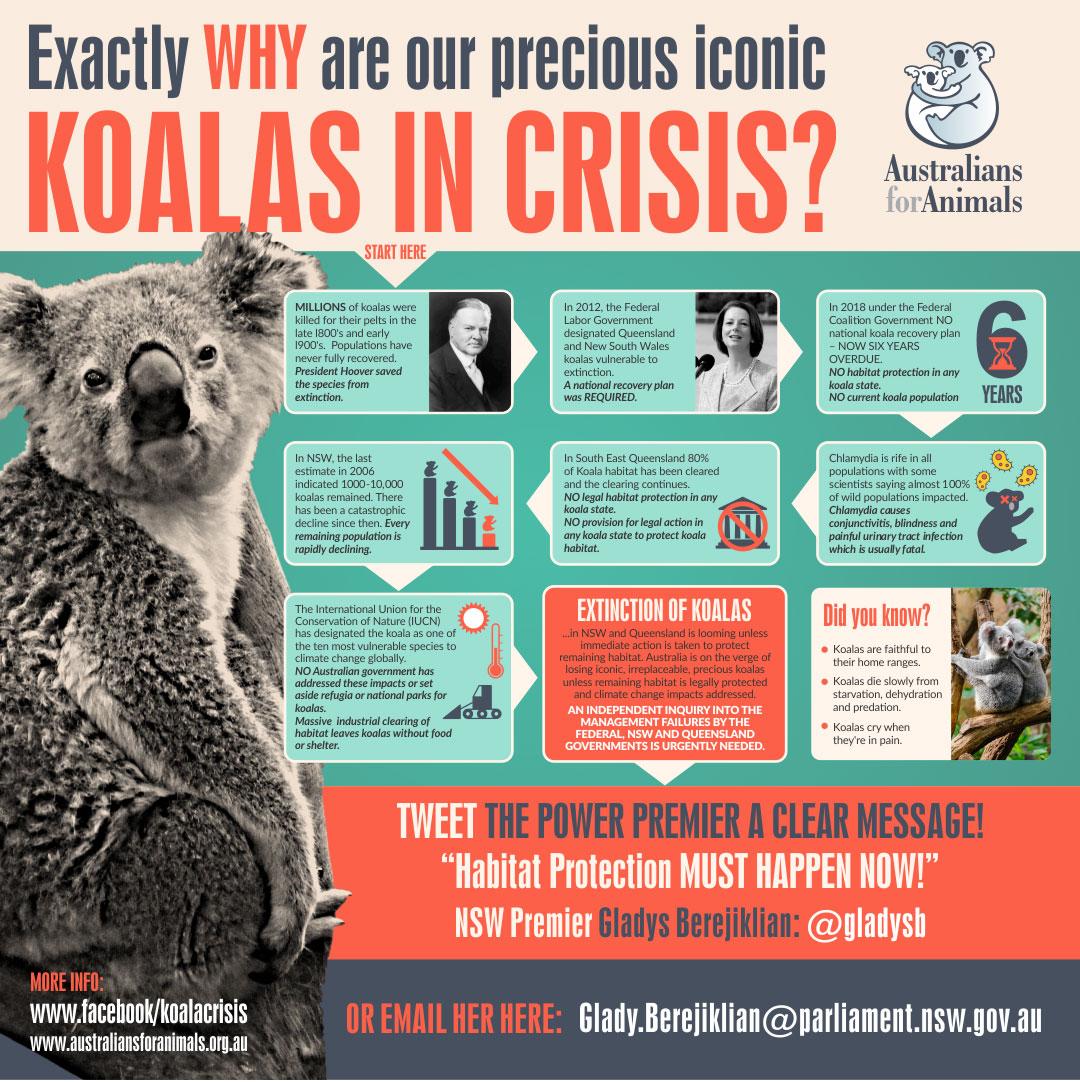 koala crisis infographic
