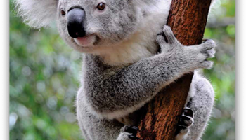Koala Rescue Guidelines Now Available for Download