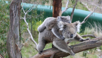 Australians for Animals (Koala Crisis) November 2020 Newsletter