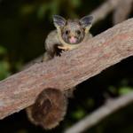 Australians for Animals (Koala Crisis) February 2021 Newsletter