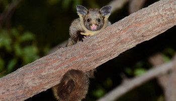 Australians for Animals (Koala Crisis) February 2021 Newsletter