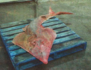 Colour Photo of a diseased shovel-nose shark caught in Gladstone Harbour last year. Photo AAP.