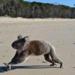 playful koala on beach