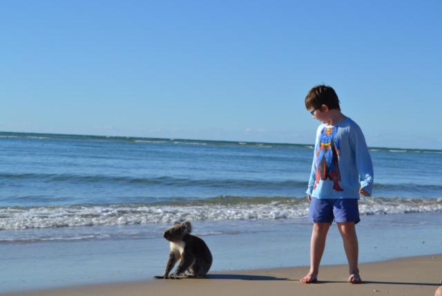 playful koala about to swim