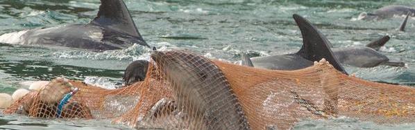 dolphin slave trade