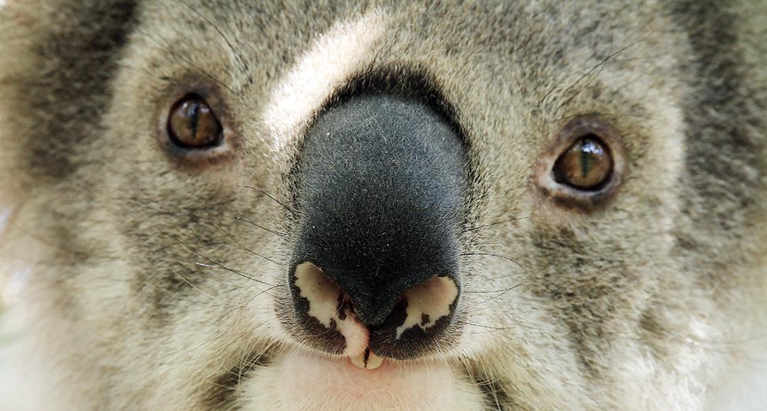 koala extinction crisis