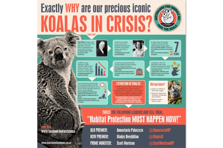 koala crisis usa infographic