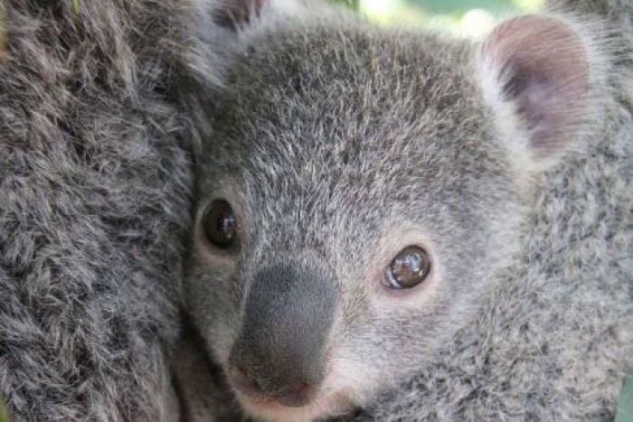 koala angels