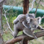 koala crisis newsletter